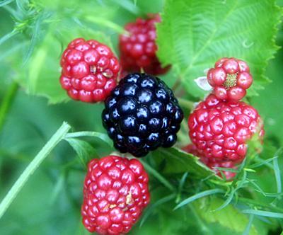 Ежевика - чудо-ягода на садовом участке от Greensad