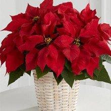 Цветок пуансеттия (молочай)