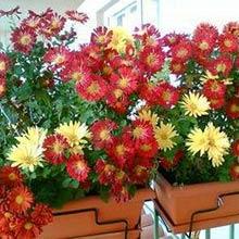Цветы на осеннем балконе